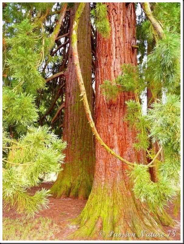 Le séquoia (8)