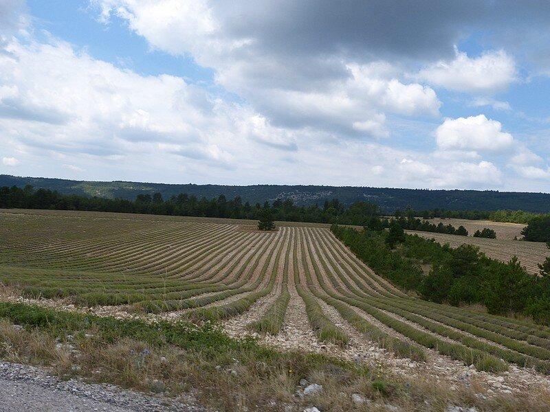 champs de lavandes côté V