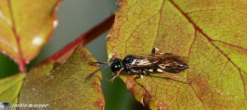 Allantus (Emphytus) cinctus