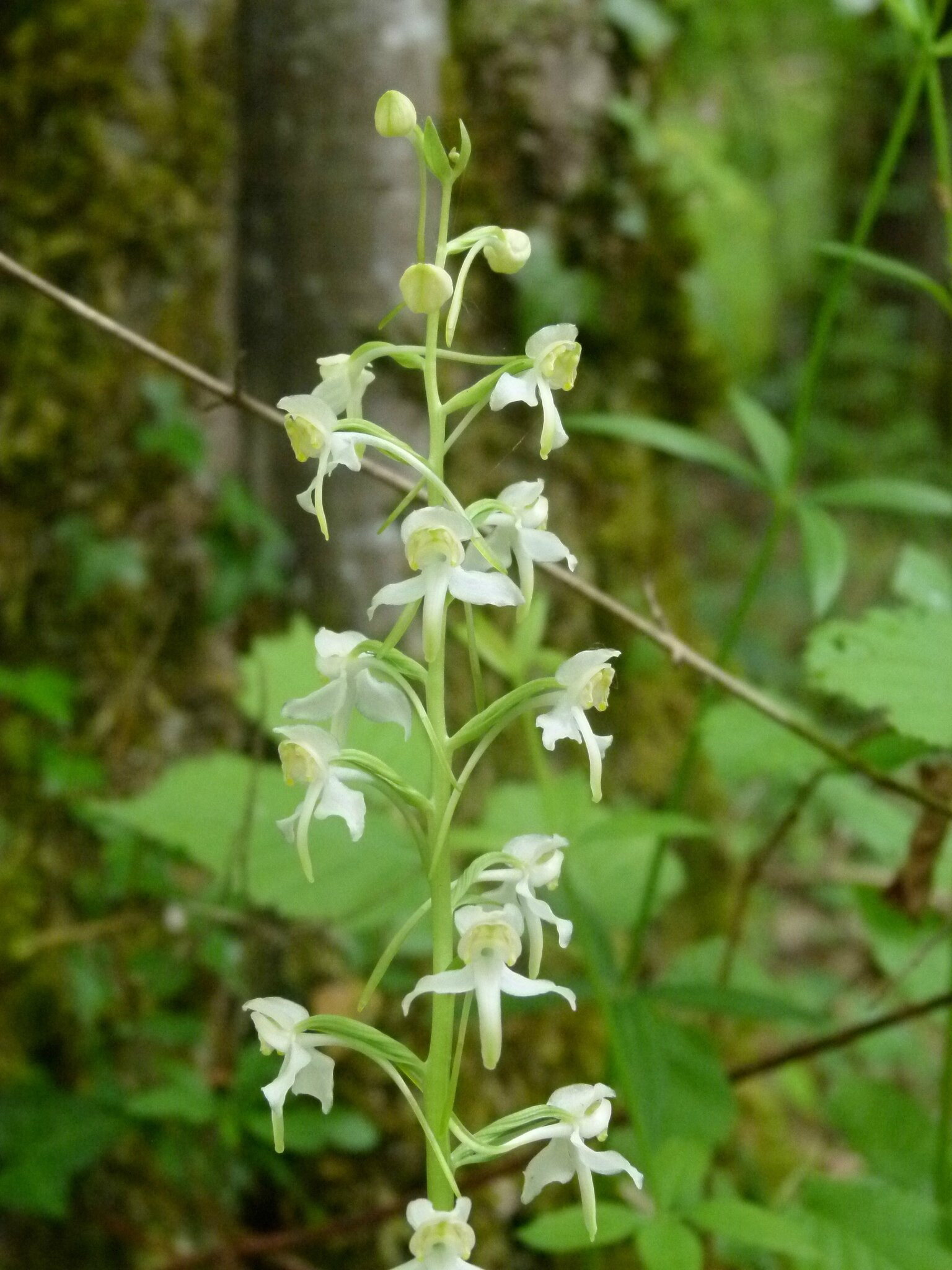 orchis verdâtre_sw_campagne