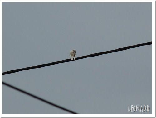 Hirondelle blanche