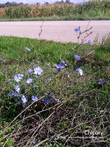 Chicory 1 ; marionfleurs
