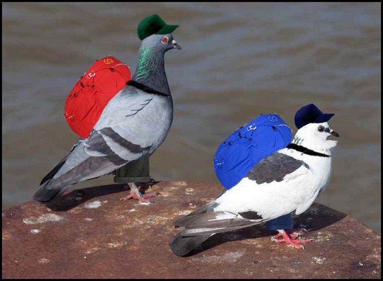 Pigeons voyageurs