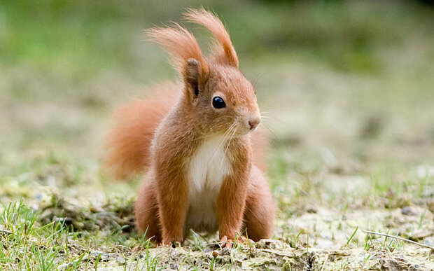 squirrel_red_1_3256965b