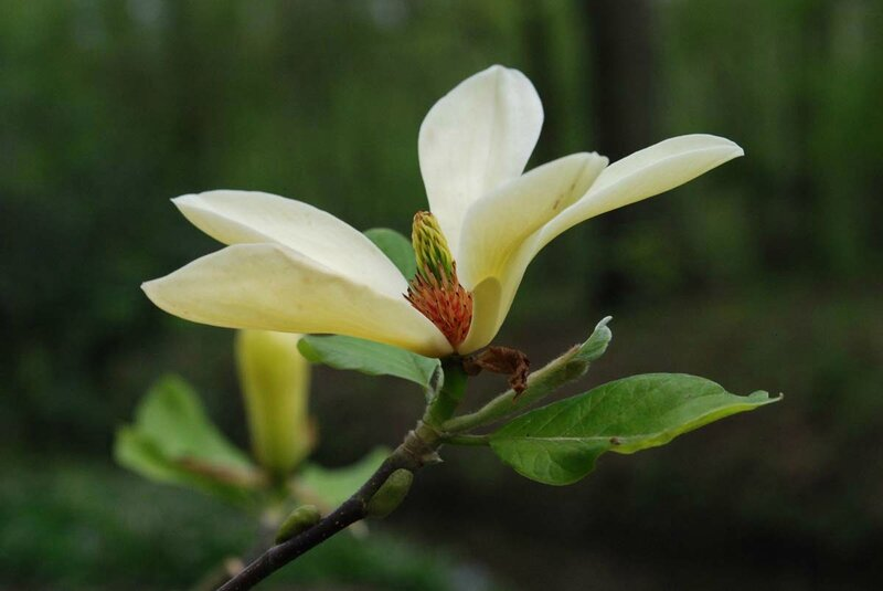 Magnolia 'Golden Pond'
