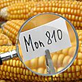 La france interdit la culture du maïs transgénique mon 810 produit par monsanto