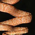 Corallus hortulanus - juvénile