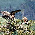 vautours 1
