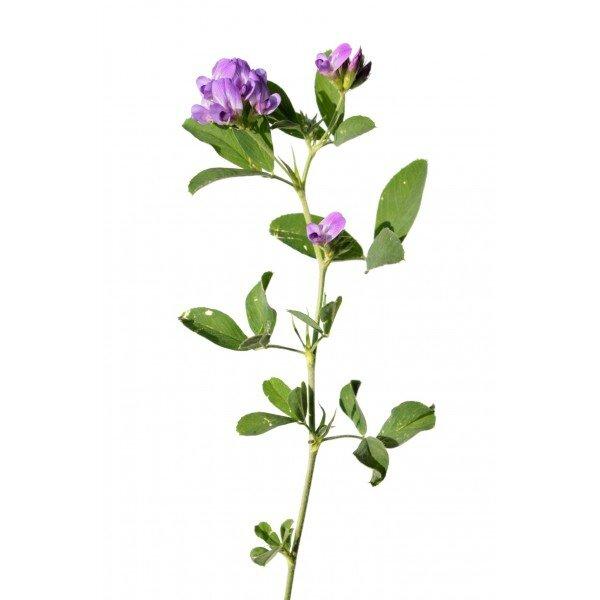 alfalfa-sem
