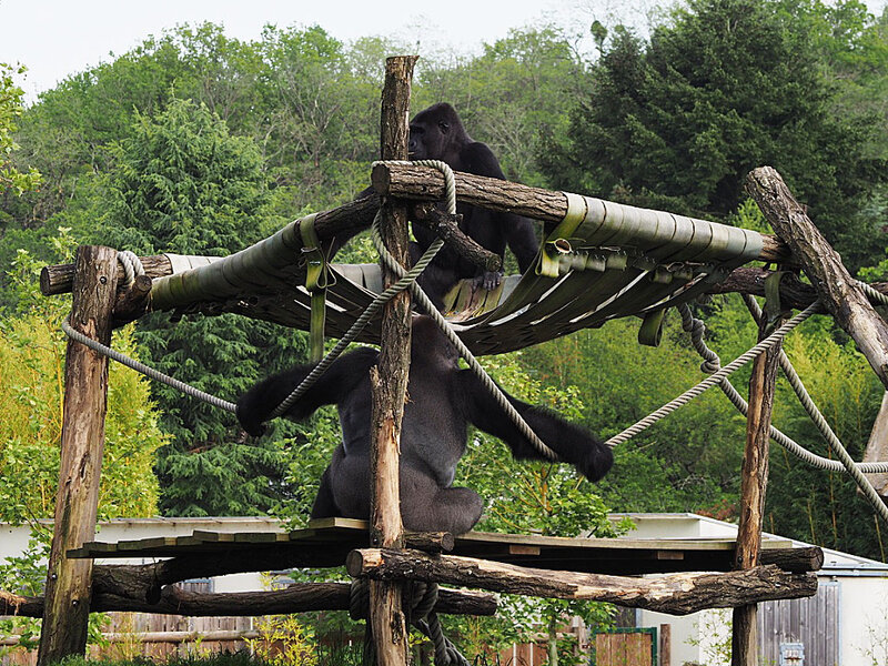 zoo-beauval-animaux-gorilles-11