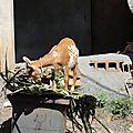 La chèvre de Mtsahara