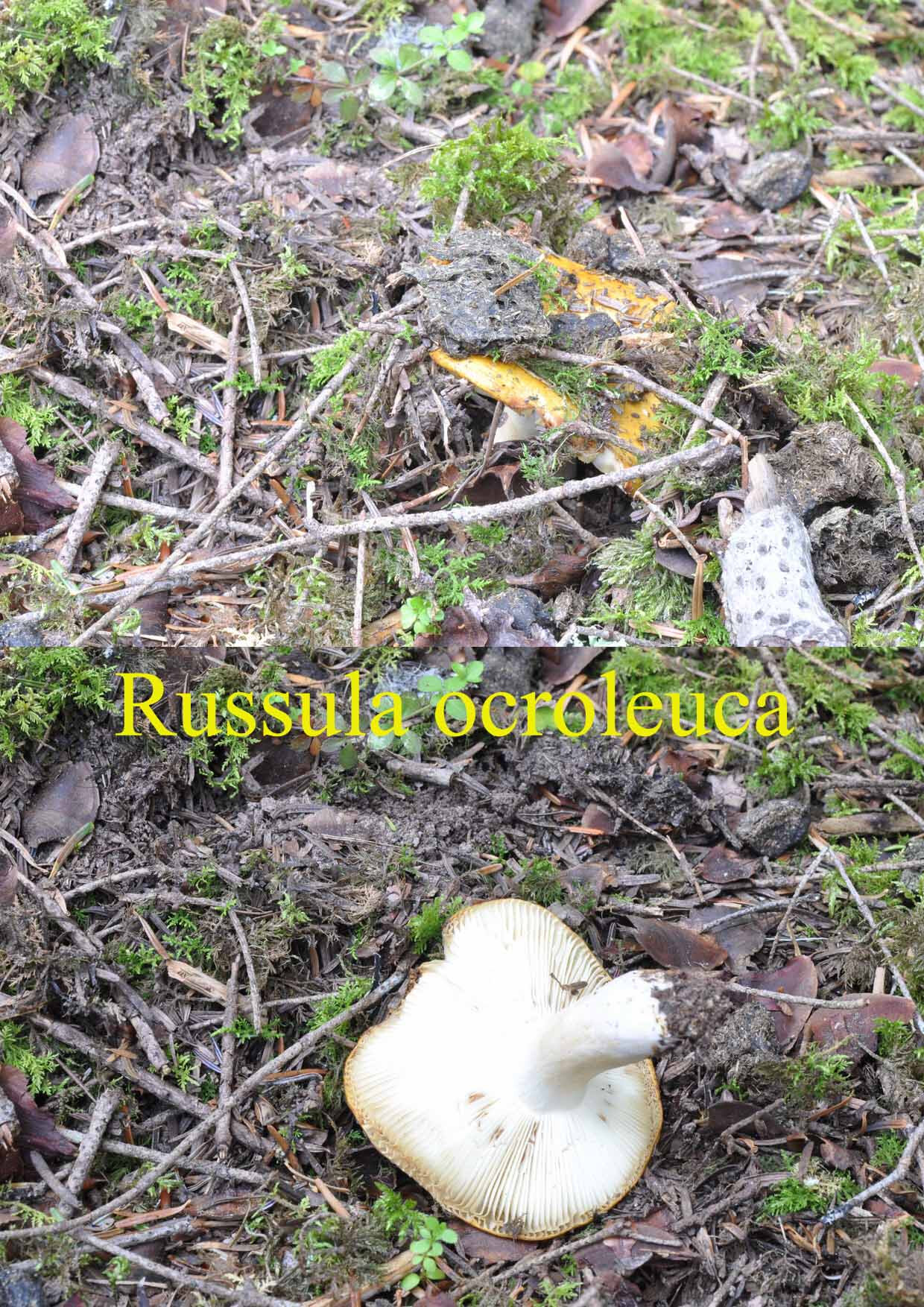 Russula ocroleuca