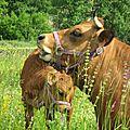 Vache et son veau Var 02 800x600