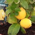 2009 04 03 Petit citrons