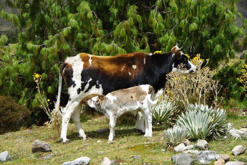 Vaches de la Sierra Nevada