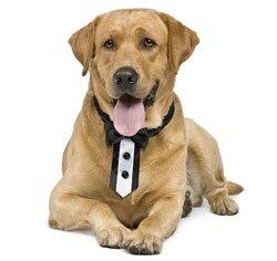 Tuxedo-Dog-noeud-papillon-cravate-chien-mariage-www