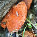 Pycnoporus cinnabarinus (2)