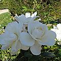 dernières roses de l'été, jardin blanc
