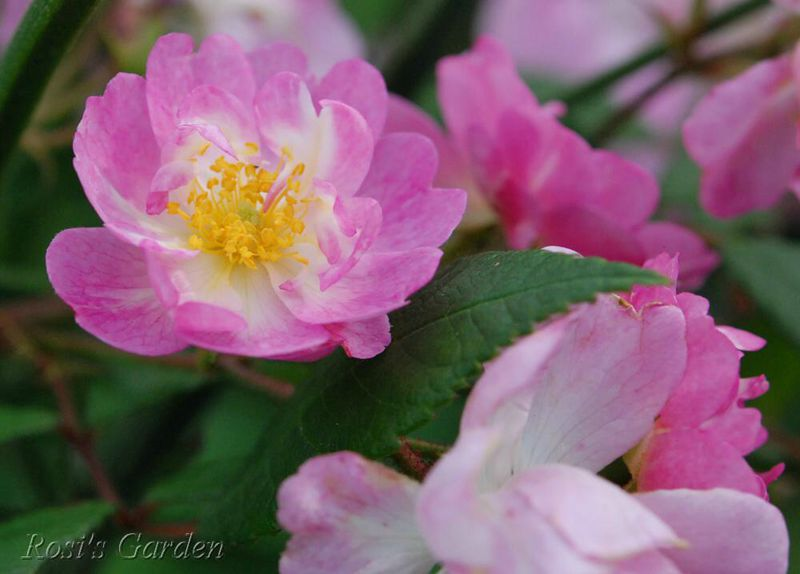 Rosa 'Bouquet Rose'