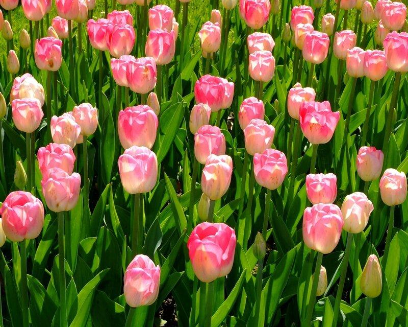 Edenpics-com_005-117-Champ-de-tulipes-roses-Suisse-Vaud-Morges