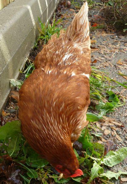 0--poule n°1-queue claire et cou plumes fines blanches