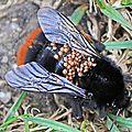 Acariens Gamasides • Parasitus fucorum parasitant un bourdon