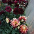 2009 08 08 Mes grands dahlias