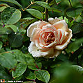 Rosa 'Rêve d'Or'