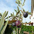 La récolte des olives.