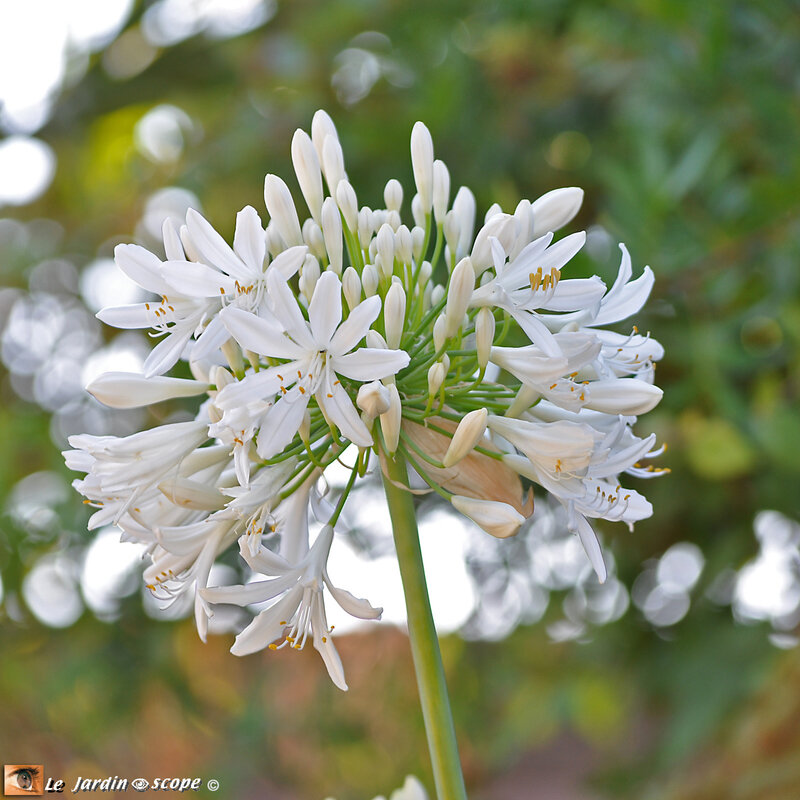 Agapanthe-blanche
