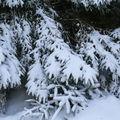 2009 01 25 Branches de sapins enneigés