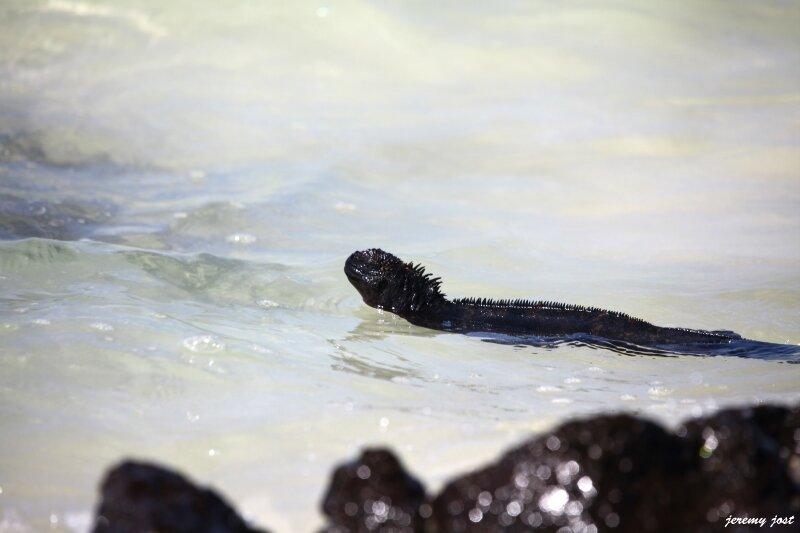 iguane marin dans l'eau