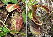 nepenthes5