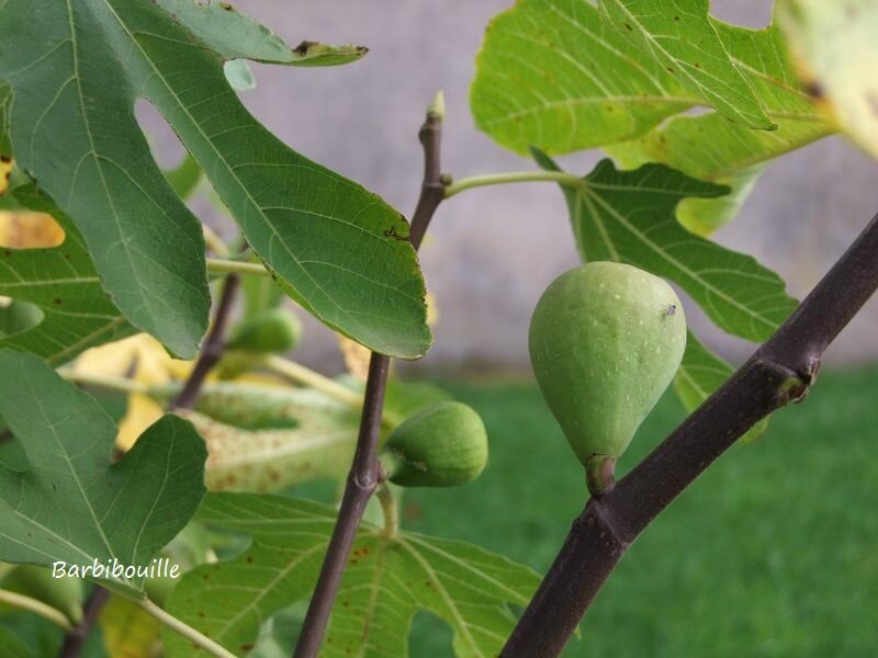 figues11 Oct