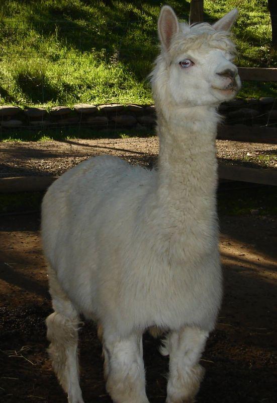 El Apaca majestuoso del Norte de Chile están en nuestra región