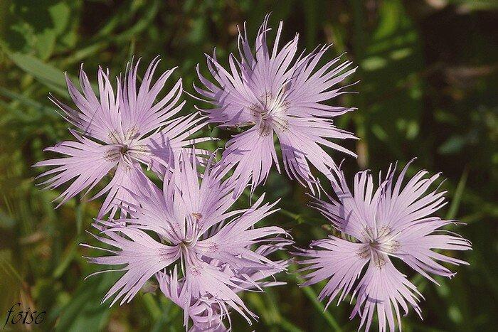 fleurs roses ou blanchâtres odorantes