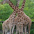 girafes zoo de Pessac