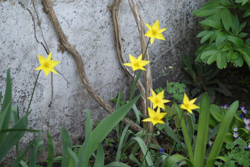tulipe sauvage 4