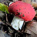 champignon : russule ?
