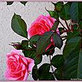 Mes roses et Fleurs de Léon 100518