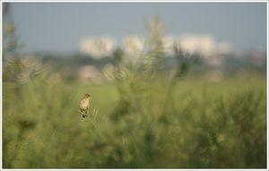 oiseau_petit_branche_colza_fond_ville_040608