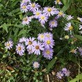 Asters...septembre 06