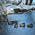 canards colvert au lac d'Aydat