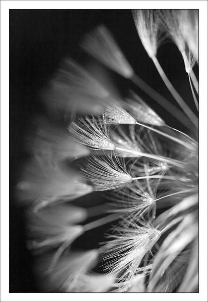plaine fleur pisselit demi 290413 nb
