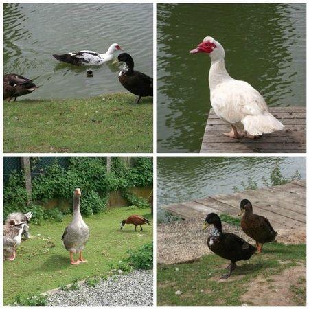 mosaïque canards et oies étang d'ombreval
