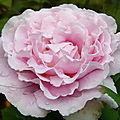 Le langage des roses
