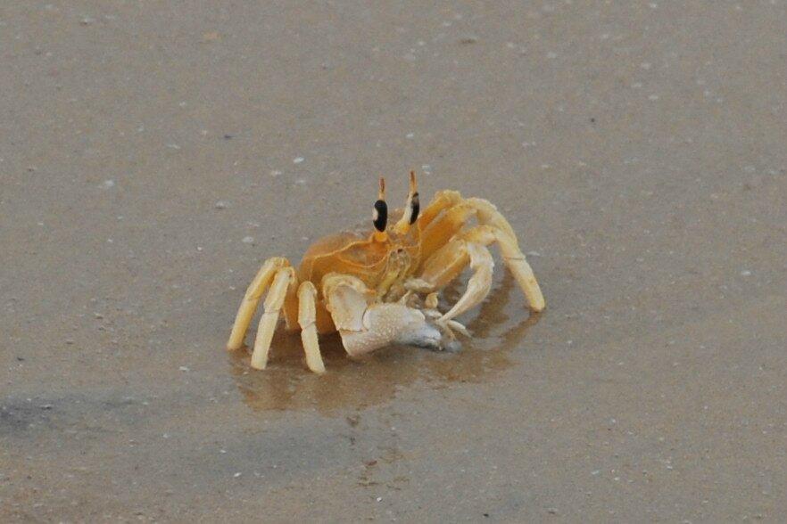crabe du sud de l'Inde