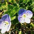 Veronica, une mauvaise herbe aux jolies fleurettes