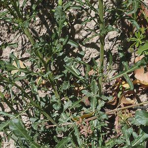 feuilles inférieures tripartites