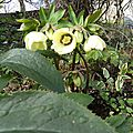 hellebore d'hier hors chimie , hors serre chaufée